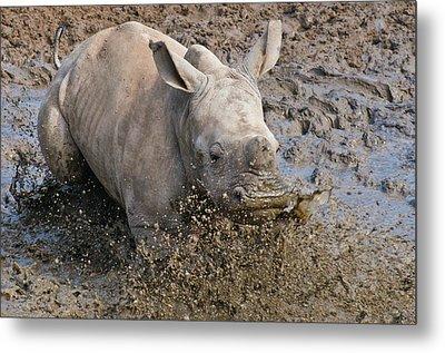 White Rhinoceros Calf Metal Print by Peter Chadwick