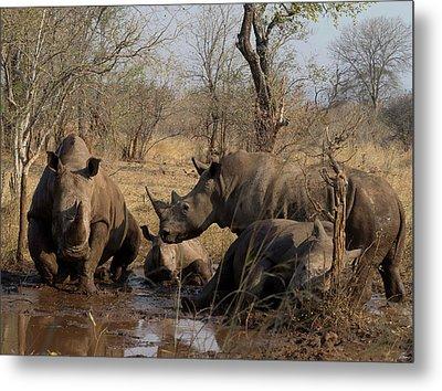 White Rhinoceros Ceratotherium Simum Metal Print by Panoramic Images