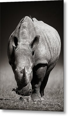 White Rhinoceros  In Due-tone Metal Print