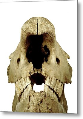 White Rhinoceros Skull Metal Print by Ucl, Grant Museum Of Zoology