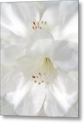 White Rhododendron Flowers Metal Print by Jennie Marie Schell