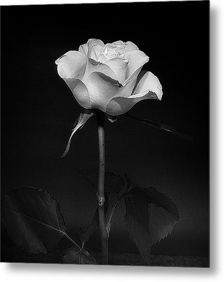 Metal Print featuring the photograph White Rose #02 by Richard Wiggins