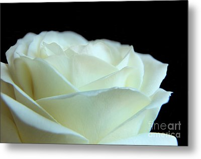 White Avalanche Rose Metal Print by Eden Baed