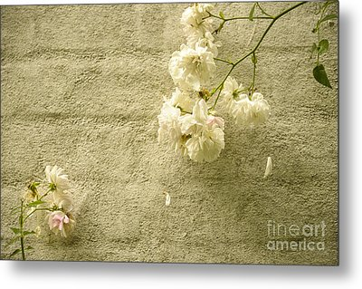 White Roses On A Wall Metal Print