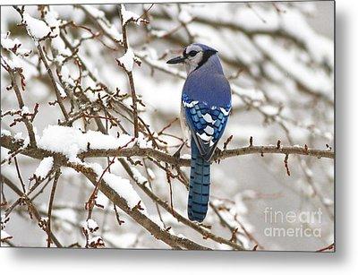 White Snows Blue Jay Metal Print