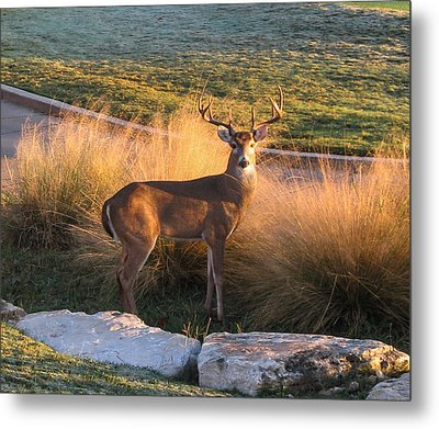 Metal Print featuring the photograph White Tail by John Johnson