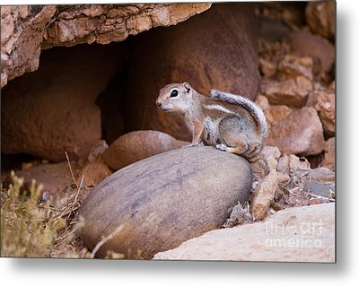 White-tailed Antelope Squirrel Metal Print by Martha Marks