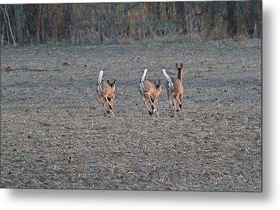 White Tailed Deer Running Metal Print by Dan Sproul