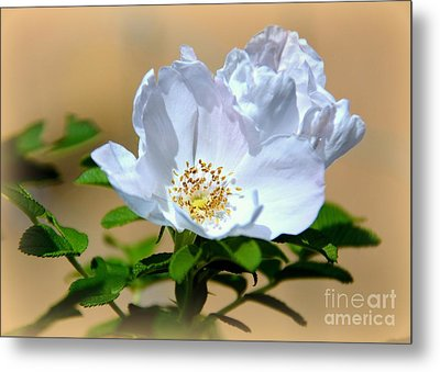 White Tea Rose Metal Print