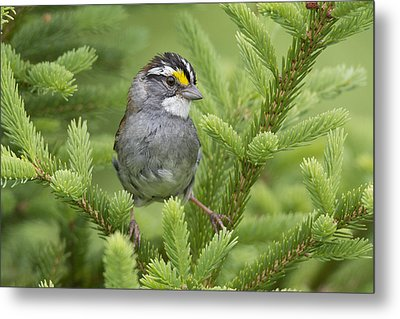 White-throated Sparrow Male In Breeding Metal Print by Scott Leslie