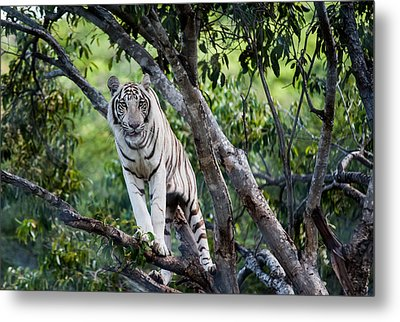 White Tiger On The Tree Metal Print by Jenny Rainbow