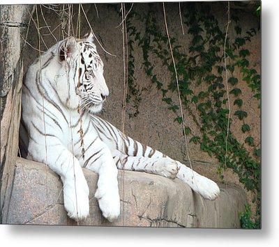 White Tiger Resting Metal Print by Phyllis Beiser