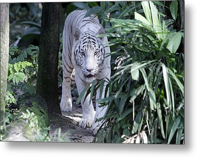 Metal Print featuring the photograph White Tiger  by Shoal Hollingsworth