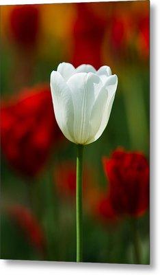 White Tulip - Featured 3 Metal Print by Alexander Senin