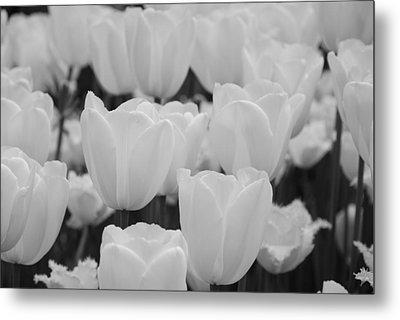 White Tulips B/w Metal Print by Jennifer Ancker