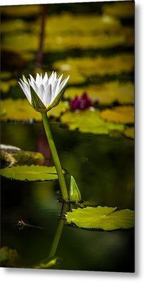White Water Lily Metal Print by Julio Solar