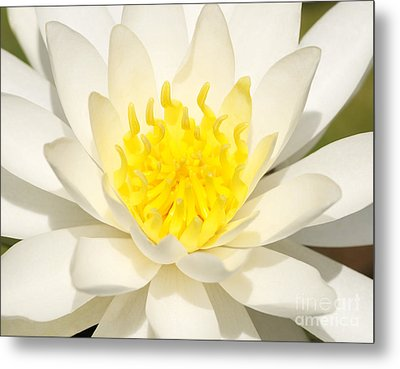 White Waterlily Metal Print