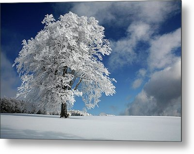 White Windbuche In Black Forest Metal Print by Franz Schumacher