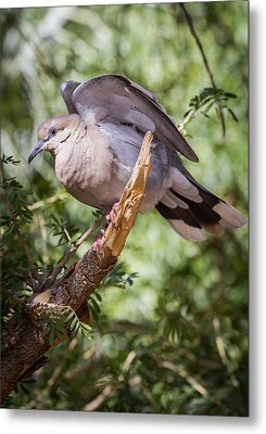 White-winged Dove Metal Print by Beverly Parks