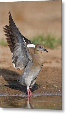 White-winged Dove (zenaida Asiatica Metal Print