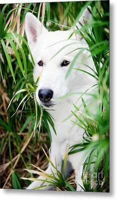 Metal Print featuring the photograph White Wolf by Erika Weber