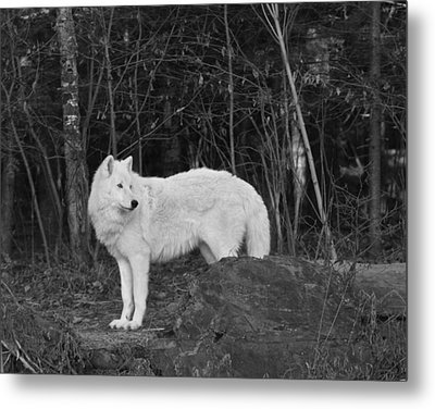 White Wolf Metal Print by Kate Purdy