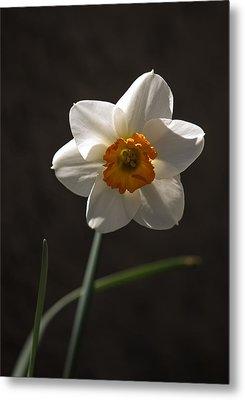 White Yellow Daffodil Metal Print