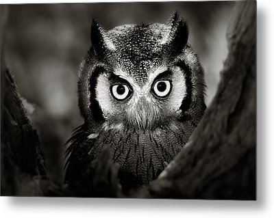 Whitefaced Owl Metal Print by Johan Swanepoel