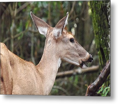 Whitetail Deer 038 Metal Print by Chris Mercer