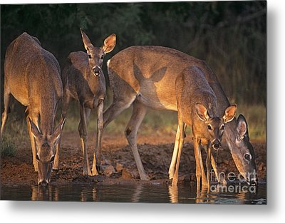 Whitetail Deer At Waterhole Texas Metal Print