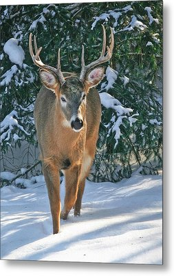 Whitetail Deer Eight Point Metal Print by Clare VanderVeen