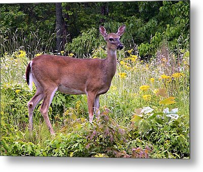 Metal Print featuring the photograph Whitetail Deer by William Tanneberger