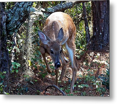 Metal Print featuring the photograph Whitetail Fawn 008 by Chris Mercer