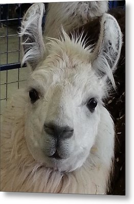 Metal Print featuring the photograph Who Me Llama by Caryl J Bohn