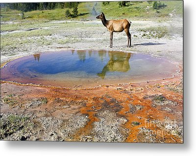 Metal Print featuring the photograph Wild And Free In Yellowstone by Teresa Zieba