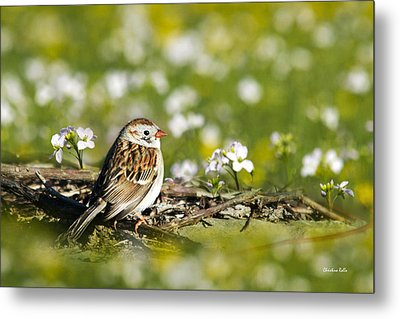 Wild Birds - Field Sparrow Metal Print by Christina Rollo