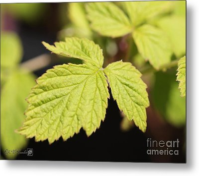Wild Black Raspberry Leaves Metal Print by J McCombie