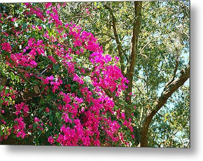 Wild Bougainvillea Metal Print by Aimee L Maher Photography and Art Visit ALMGallerydotcom