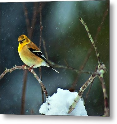 Metal Print featuring the photograph Wild Canary by John Harding