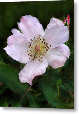 Metal Print featuring the photograph Wild Carolina Rose by William Tanneberger