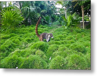 Wild Coati Metal Print by Eti Reid
