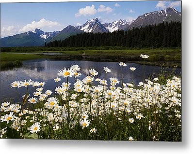 Wild Daisies Colour The Roadside Metal Print