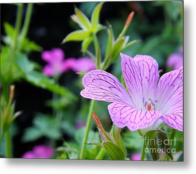 Metal Print featuring the photograph Wild Geranium Flowers by Clare Bevan