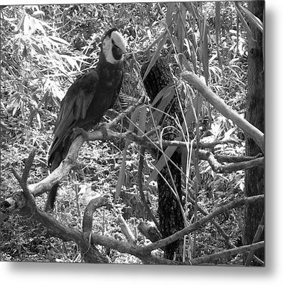 Metal Print featuring the photograph Wild Hawaiian Parrot Black And White by Joseph Baril