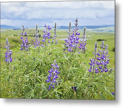 Wild Lupine Metal Print by Theresa Tahara