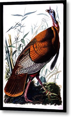 Wild Male Turkey Metal Print by Celestial Images