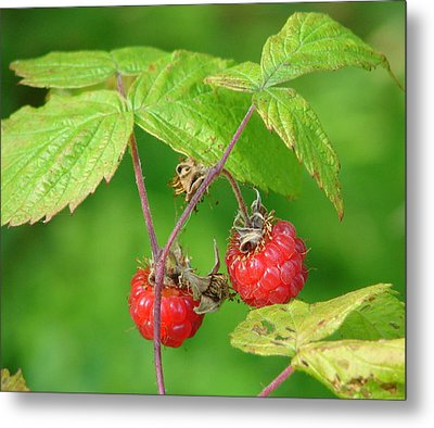 Wild Raspberries Metal Print by Lew Davis