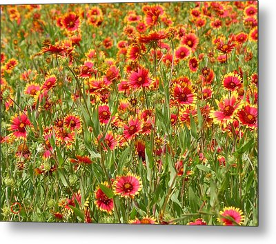 Metal Print featuring the photograph Wild Red Daisies #1 by Robert ONeil