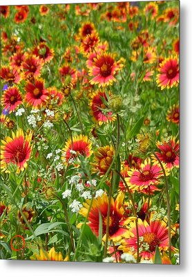 Metal Print featuring the photograph Wild Red Daisies #2 by Robert ONeil