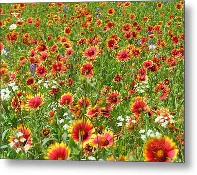 Metal Print featuring the photograph Wild Red Daisies #3 by Robert ONeil